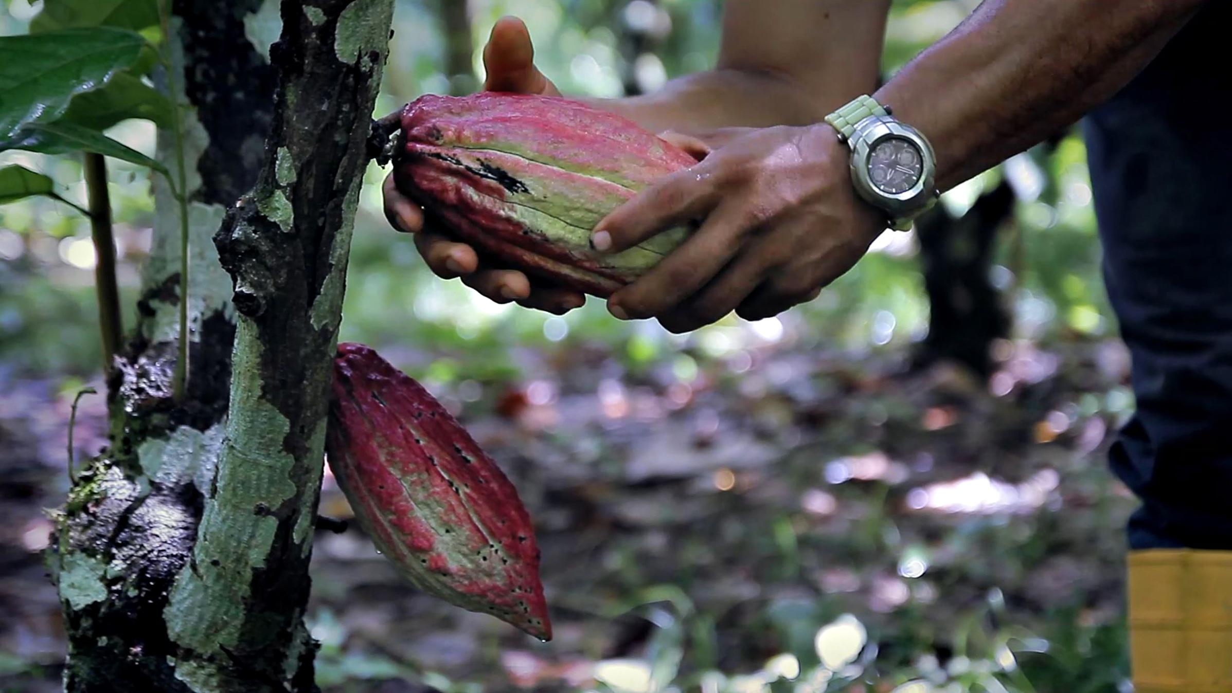 cultivo-cacao-ecologico-venezuela-tractor-bcs